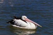 Australian Pelican resting on water