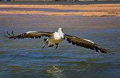Australian Pelican landing on water