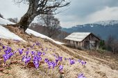 Purple crocus in high mountain