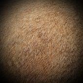 Cougar Fur