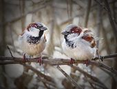The pair of a House Sparrow( Passer domesticus ) on a twig.