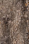 foto of pecan tree  - Tree Bark - JPG