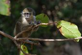 Young Green Vervet Monkey