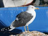Yellow - Legged Gull