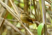 Female Slaty-blue Flycatcher (ficedula Hodgsonii)