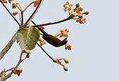 Male Mrs.gould's Sunbird (aethopyga Gouldiae)