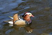 Male mandarin duck (Aix galericulata) swimming