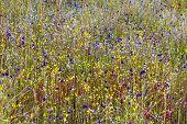 Eriocaulon Smitinandii Mold.flower (eriocaulaceae) Bloom Among  Grass