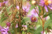 Redlegged Grasshopper  Melanoplus Femurrubrum