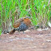 Female Mountain Bamboo Partridge
