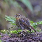 Female Snowy-browed Flycatcher