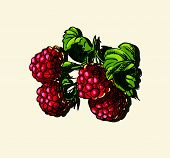 Vector illustration of raspberries
