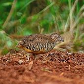 Male Barred Buttonquail