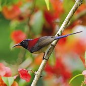Male Black-throated Sunbird