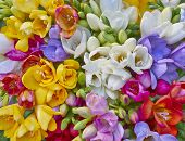variety of colorful freesias floral background