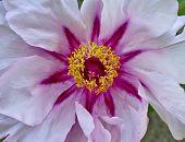 vibrant pink peony flower closeup