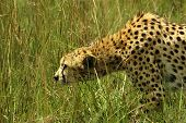 image of stolen  - The cheetah is stolen on the savanna