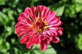 Zinnia Zed Beautiful Flower