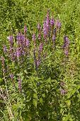 Flora - Summer Lilac