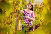 young woman grape picker in vineyard