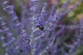 stock photo of purple sage  - Bee on purple russian sage selective focus - JPG