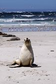 Seal Pup at Seal Bay. Kangaroo Island. Australia