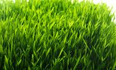 Green grass background. Fresh growing green grass isolated on white background.