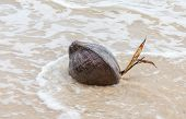 A Sprouting Coconut Washes Up On The Beach In Thailand