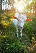 Funny Goat chews a fresh green grass
