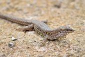 Atlantic Lizard. Lanzarote, Canary Islands.