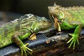 Green iguan