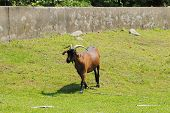 Brown Goat In A Farm Field During The Summer