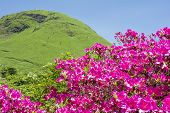 Pink azalea and hill