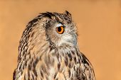 Close-up portrait of a Bengal eagle owl (Bubo bubo bengalensis)