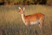 Female red lechwe antelope (Kobus leche) in tall grass, southern Africa