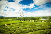 Natural Landscape Of Tea Planation On The Moutain In Chiangrai Province, Thailand