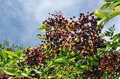 image of elderberry  - Growing elderberry unripe fruits after rain in the garden - JPG