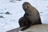Fur Seals Sitting On The Rocks And Scratched