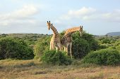 pic of bow-legged  - Pair of Giraffes  - JPG