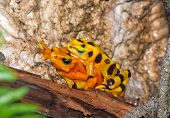 Poisonous Golden Toads