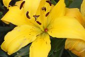 Large yellow lily closeup