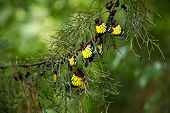 picture of cocoon tree  - Group of new born butterfly hanging on pine branch - JPG