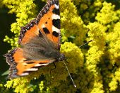 Daily Admiral butterfly (Vanessa atalanta), family Nymphalidae, on the flowers Solidago