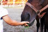 foto of feeding horse  - detail of little girl hand feeding horse - JPG