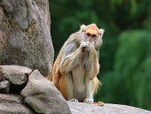 patas monkey Erythrocebus patas climbing on tree