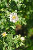 Flowers Of Dog Rose