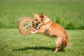 pic of frisbee  - A small brown dog playing in a meadow with a frisbee - JPG