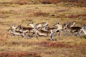 stock photo of caribou  - Herd of Caribou running through the tundra near Churchill - JPG