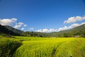 green hills and green rice field