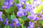 picture of viola  - Viola flowers on the green sunny field - JPG